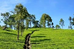 Плантации чая, Haputale, Шри-Ланка стоковое изображение