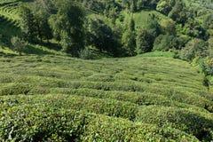 Плантации чая, Rize, Турция Стоковые Фотографии RF