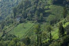Плантации чая, Rize, Турция Стоковое Фото