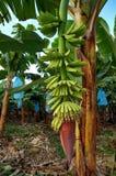 Плантация банана Стоковые Фотографии RF