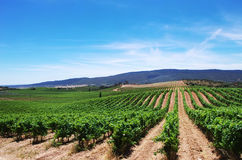 Плантация виноградника в области Alentejo Стоковая Фотография
