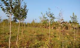 Плантация дерева агара & розовая плантация цветка стоковые изображения