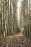 Плантация дерева тополя в осени Стоковая Фотография RF