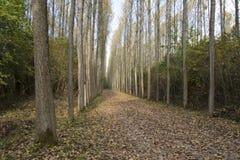 Плантация дерева тополя Стоковые Фотографии RF