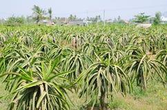 Заводы Pitahaya (плодоовощ дракона) Стоковые Изображения RF