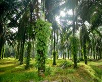 Плантация масличной пальмы Стоковые Фотографии RF