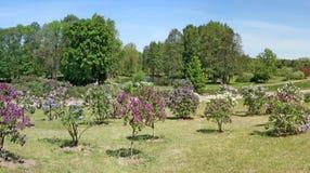 Плантация молодых деревьев сирени различных рангов приближает к th Стоковое фото RF