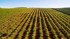 Плантация оранжевых деревьев на мае в Португалии, Алгарве, виде с воздуха Стоковое Фото