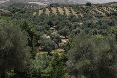 Плантация оливок на наклонах горы Стоковая Фотография
