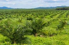 Плантация пальмового масла Стоковое Изображение RF