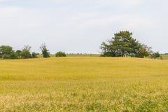 Плантация пшеницы фермы в Сантьяго делает Cacem Стоковые Фотографии RF