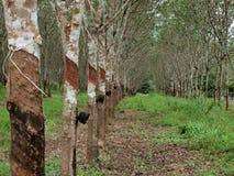 Плантация резинового дерева Стоковая Фотография