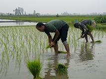 Плантация риса Стоковые Фотографии RF