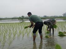 Плантация риса Стоковая Фотография RF