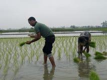 Плантация риса Стоковое Изображение