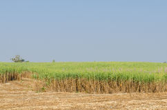 Плантация сахарного тростника Стоковое Фото