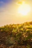 Плантация сои в заходе солнца стоковые фотографии rf