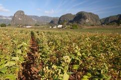 Плантация с mogotes, VInales табака, Куба Стоковое Изображение