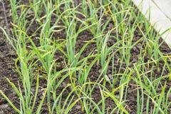 Плантация лука в огороде Стоковая Фотография RF