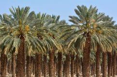 Плантация финиковой пальмы - мертвое море, Израиль стоковые фото