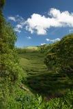 Плантация чая в Азорских островах Стоковые Изображения