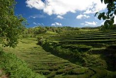 Плантация чая в архипелаге Португалии Азорских островов Стоковое Изображение RF
