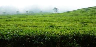 Плантация чая в Бандунге Индонезии Стоковые Фото