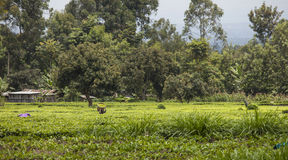 Плантация чая в Кении Стоковая Фотография