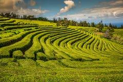 Плантация чая в Порту Formoso Изумительный ландшафт outstandin стоковое изображение rf