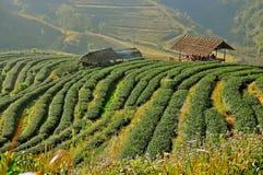 Плантация чая в Чиангмае, Таиланде Стоковое Изображение RF