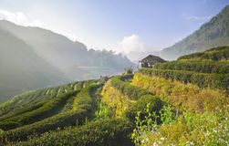 Плантация чая в Ang Khang Doi, Таиланде Стоковое Изображение RF