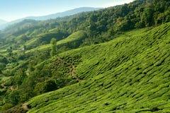 Плантация чая гористых местностей Камерона стоковая фотография rf