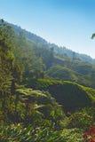 Плантация чая гористых местностей Камерона стоковые фотографии rf