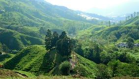 Плантация чая гористых местностей Камерона стоковое фото rf