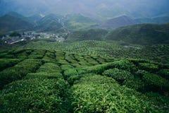 Плантация чая гористых местностей Камерона Стоковые Фото