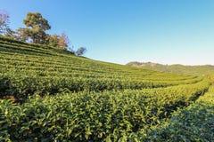 Плантация чая на холме Стоковое Фото