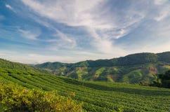 Плантация чая на Doi Mae Salong в Chiang Rai, Таиланде Стоковые Изображения