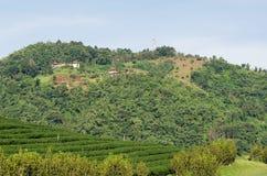 Плантация чая на Doi Mae Salong в Chiang Rai, Таиланде Стоковое Фото