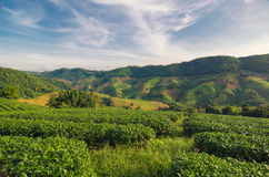 Плантация чая на Doi Mae Salong в Chiang Rai, Таиланде Стоковое Изображение