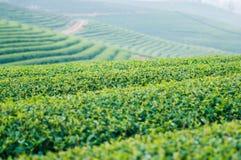 Плантация чая Стоковое Фото