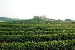 Плантация чая Стоковые Фото