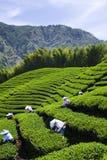 Плантация чая Стоковые Фотографии RF
