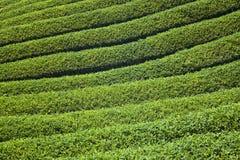 Плантация чая Стоковая Фотография