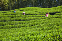 Плантация чая Стоковые Изображения RF