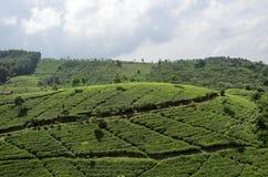Плантация чая Стоковая Фотография RF