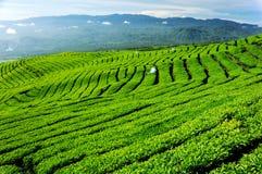 Плантация чая Стоковые Изображения