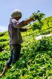 Плантация чая Boh в гористой местности Камерона, Малайзии Стоковые Изображения
