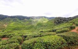 Плантация чая Boh в гористых местностях Малайзии Камерона Стоковое Изображение RF