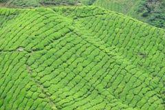 Плантация чая Boh, Sungai Palas Стоковая Фотография RF