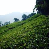 Плантация чая Darjeeling Винтажное фото фильтра Стоковые Изображения RF